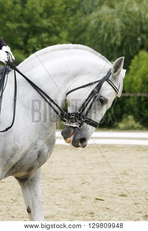 Side View Portrait Of A Grey Dressage Horse During Training Outdoors
