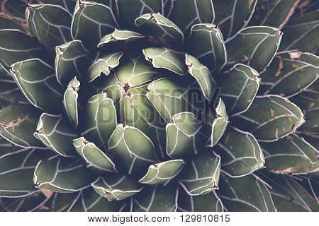 Close up of agave succulent plant selective focus toning
