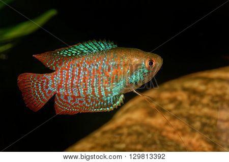 Dwarf gourami on a blurred background (Trichogaster lalius)