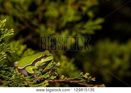 A Pine Barrens Treefrog in a cedar tree near a vernal pool during breeding season.