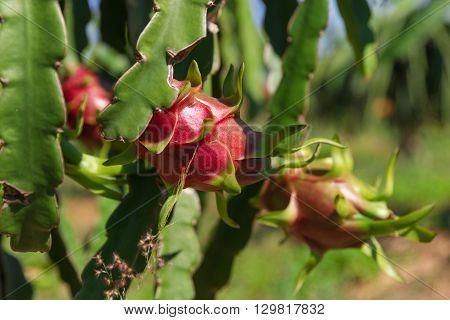 Dragon fruit or Pitaya Pitahaya plantation in Thailand Hylocercus undatus