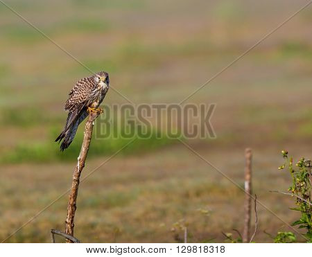 The common kestrel a bird of prey species belonging to the kestrel group of the falcon family. It is also known as the European kestrel, Eurasian kestrel, or Old World kestrel. Perched on a bush.