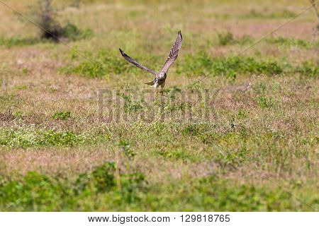 The common kestrel a bird of prey species belonging to the kestrel group of the falcon family. It is also known as the European kestrel, Eurasian kestrel, or Old World kestrel.