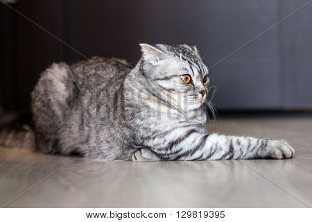 Portrait of a cat on the floor of the Scottish