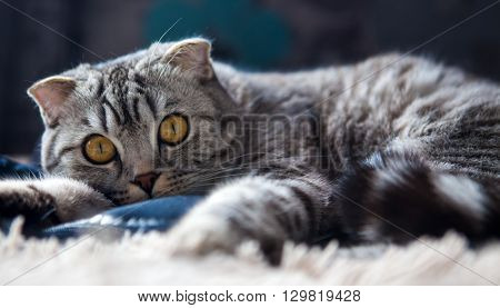 Portrait of a cat on the bed of the Scottish