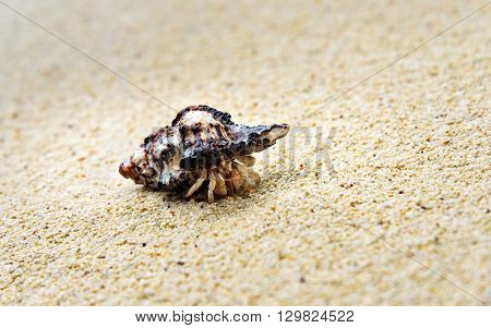 Hermit crab on sand at beach. Togean Islands or Togian Islands in the Gulf of Tomini. Central Sulawesi. Indonesia. Focus on the shell poster