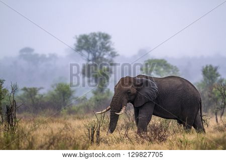 Specie Loxodonta africana family of Elephantidae, african bush elephant in savannah, Kruger Park, South Africa