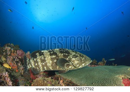 Marbled Grouper fish on coral reef in blue sea