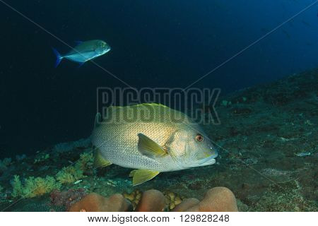 Giant Sweetlips fish