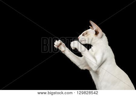 Closeup Portrait of Funny White Oriental Cat Boxing of paws Black Isolated Background