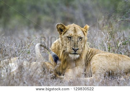 Specie panthera leo family of felidae, young lion in savannah, Kurger