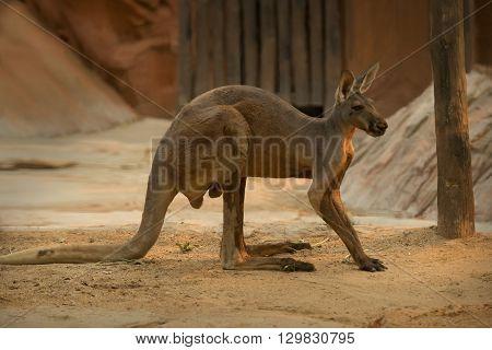 Wild Red Kangaroo in zoo