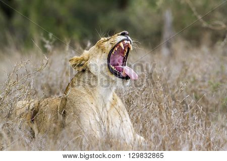 Specie panthera leo family of felidae, portrait of an african lioness yawning in kruger park, South Africa