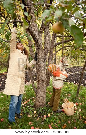 Mather and son gather apples in autumnal garden