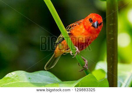 Red Cardinal Bird In A Swiss Zoo