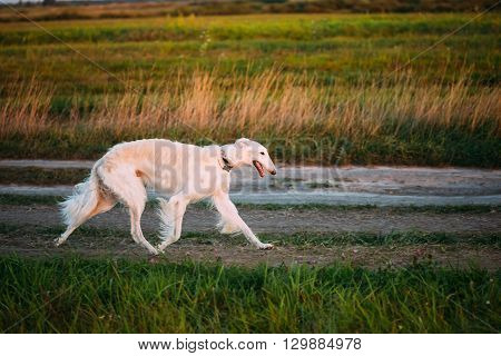 White Russian Borzoi Gazehound Fast Running In Summer Meadow. These Dogs Specialize In Pursuing Prey, Keeping It In Sight, And Overpowering It By Their Great Speed And Agility