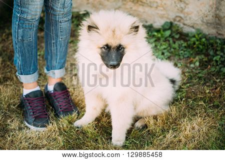 Gray Keeshound, Keeshond, Keeshonden Dog Or German Spitz, Wolfspitz Sitting On Grass Is At Feet Of Mistress