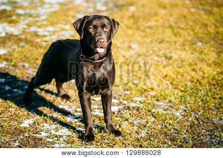 Beautiful Brown Dog Labrador Retriever Staying Outdoor In Spring