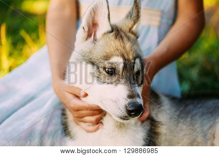 Little Girl in Dress And Her Puppy Dog Husky In Park In Summer
