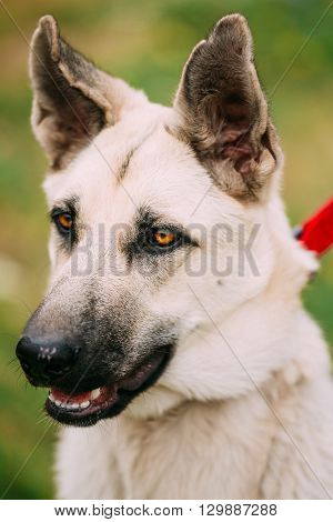 Close Up Portrait Of Young Happy East European Shepherd - Veo Or Byelorussian Shepherd - Is Breed Of Dog That Was Developed To Create A Larger Cold-resistant Breed For Military Use, Police Work And Border Guard Duties In Soviet Union