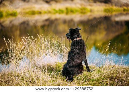 Small Size Black Dog In Grass Near River, Lake. Summer Season.