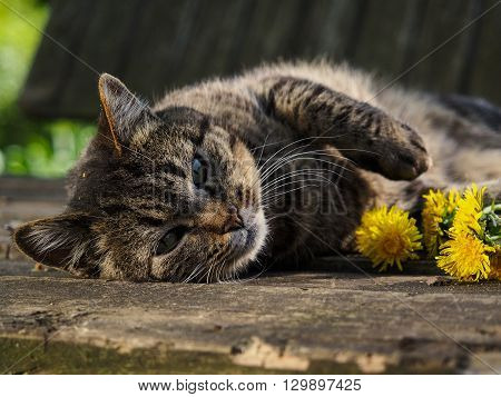 Big gray striped cat lies with flowers dandelions. Portrait of a beautiful cat in the nature. Summer, the heat, the cat is happy