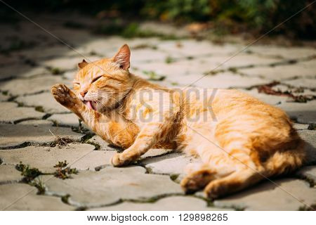 Red Tabby Cat Male Lick Washes Itself Outdoor