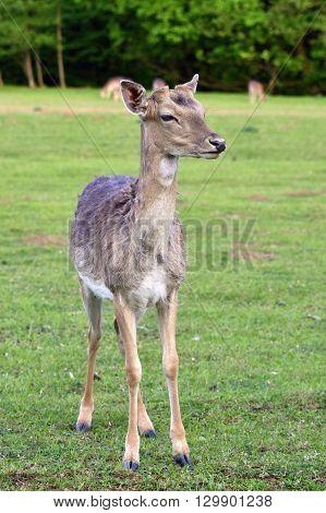 Fallow - Fallow Deer. (dama Dama ) Beautiful Natural Background With Animals.