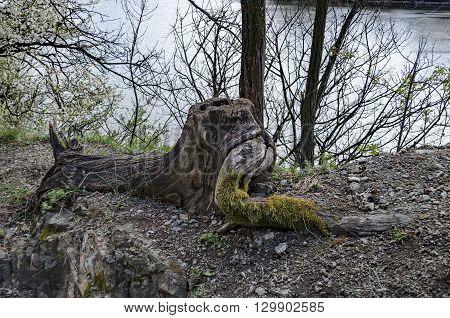 Fantastic stump of tree rooty in glade at Lozen mountain in springtime, Pancharevo, Bulgaria