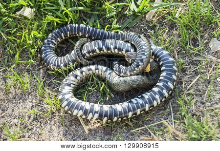 Snake with white spot rests upon land with green herb