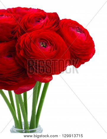 vivd red ranunculus flowers isolated on white background