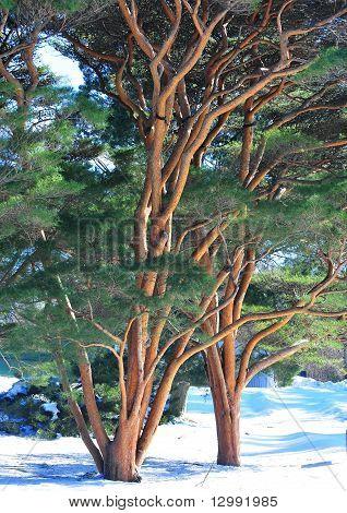 Wirey Tree Trunks