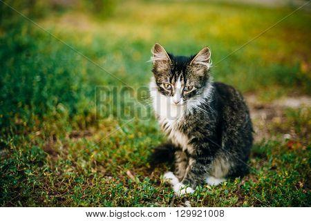 Small Cat Kitten Sit In Green Summer Grass.