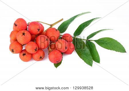 Rowan berry branch isolated on white. Closeup.