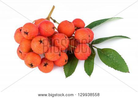 Rowan berry (Sorbus aucuparia) on white. Closeup.