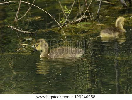 A Canada Goose (Branta Canadensis) gosling, or chick, swimming on a lake in York County Pennsylvania, USA.