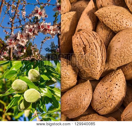 Growth Of Almond Nuts.