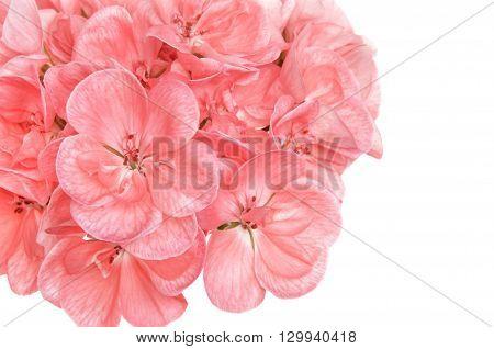 Pink cranesbill flowers (pelargonium hortorum also called zonal geranium garden geranium malva or malvon) isolated over white.