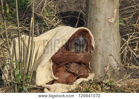 A Sumatran orangutang hiding under a cloth