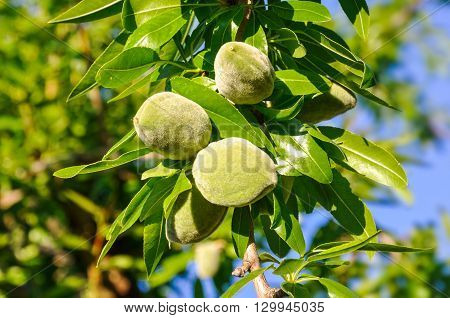 Almond Tree Branch With  Leaves And Green Nuts.