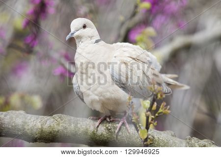 Eurasian Collared Dove Perched On A Branch