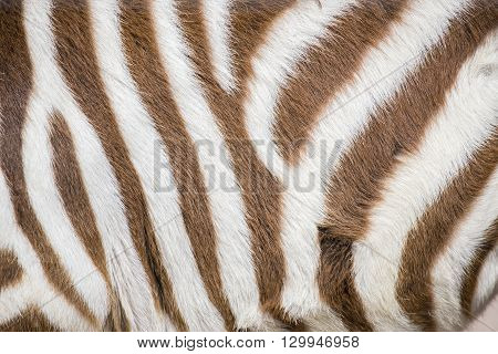 Stripes Of A Young Zebra