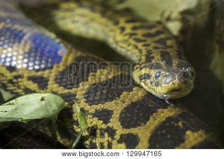 Yellow Anaconda Swimming In The Water