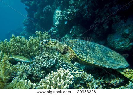 Loggerhead sea turtle Caretta caretta  on the coral reef- Red Sea