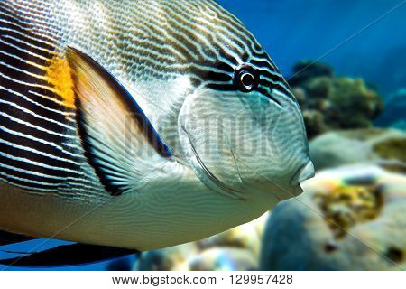 Sohal surgeonfish (Acanthurus sohal) on the coral reef. Red Sea Egypt.