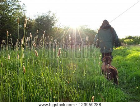 Backlit grass heads in spring sunset dog walking