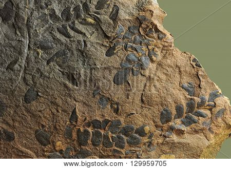 Prints of ancient plants that lived on earth 320 million years ago.  Pteridospermae - trees, shrubs, vines ferns appearance with large, complex leaves pinnate structure