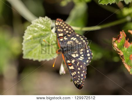 Variable Checkerspot, Euphydryas chalcedona, perched on a leaf.