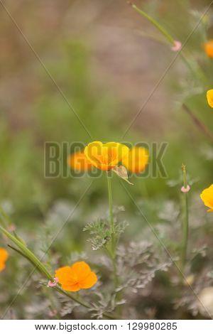 Close up of an orange California Poppy flower Eschscholzia californica in a field