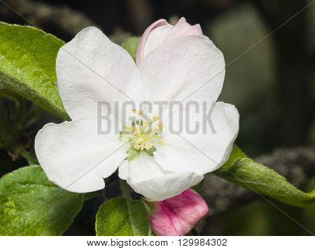 Blossom of apple tree with white flowers and pink buds on bokeh background macro selective focus shallow DOF